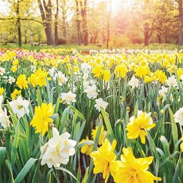 Thriplow Daffodil or Imperial War Museum Duxford